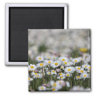 Daisy flowers magnet