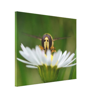 Daisy Hoverfly by Darrel Flint (Canvas) Stretched Canvas Print