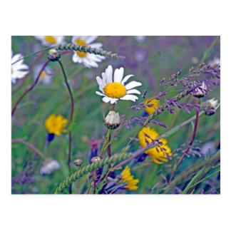 daisy in the field postcard
