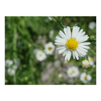 Daisy Weed in Bloom Poster