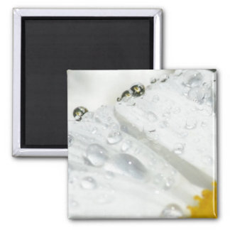Daisy with Water Drops Square Magnet