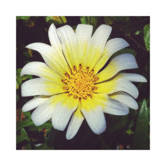 Daisy with White Petals and a Yellow Center Stretched Canvas Print
