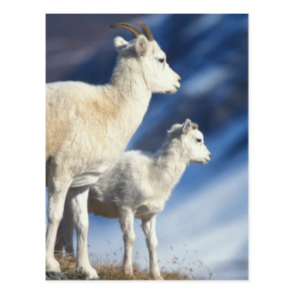 dall sheep, Ovis dalli, ewe and lamb on a Postcard