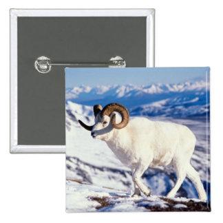 dall sheep, Ovis dalli, full curl ram on a 2 15 Cm Square Badge