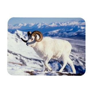 dall sheep, Ovis dalli, full curl ram on a 2 Rectangular Photo Magnet