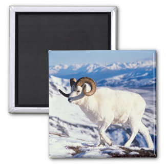dall sheep, Ovis dalli, full curl ram on a 2 Square Magnet