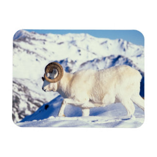 dall sheep, Ovis dalli, full curl ram on a Rectangular Photo Magnet