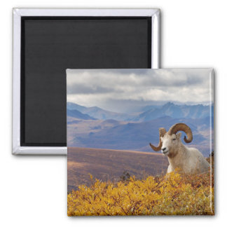 dall sheep, Ovis dalli, ram resting on a Square Magnet