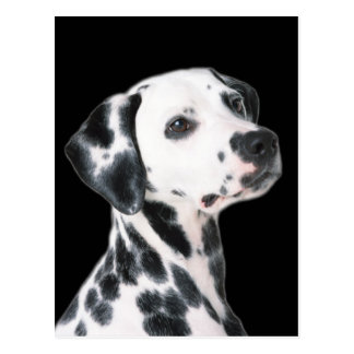 Dalmatian dog beautiful photo postcard