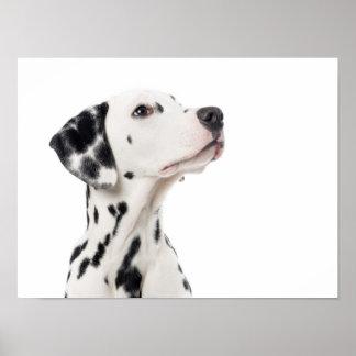 Dalmatian dog looking up poster