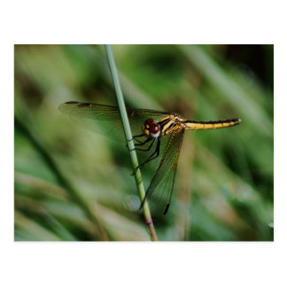 Damselfly clinging to grass postcard
