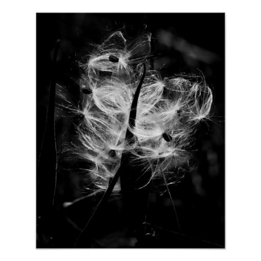 Dancing milkweed poster