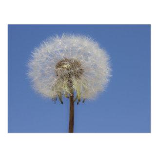 Dandelion Against blue Sky Postcards