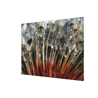 Dandelion and water drops, CA Canvas Print