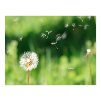 Dandelion in the Wind Postcard