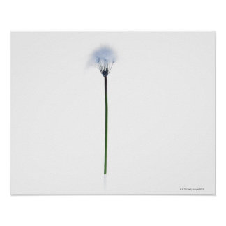 Dandelion stem on white background poster