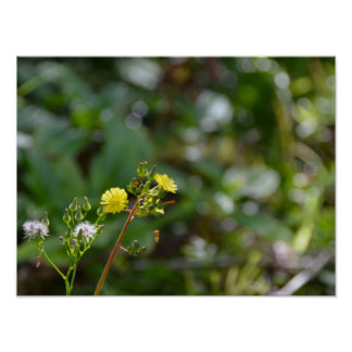 Dandelion - Wish or Weed? Poster