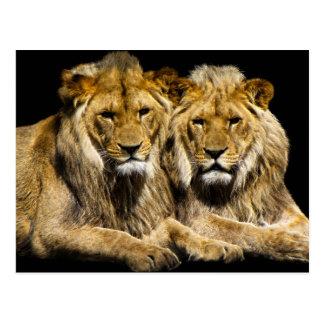 Dangerous Predator Lions Postcard