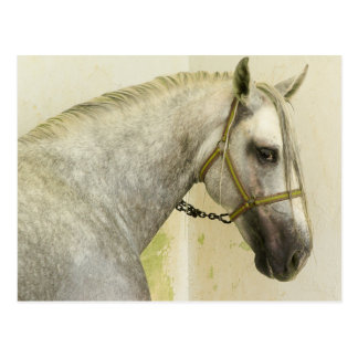 Dapple Gray Andalusian Horse Postcard