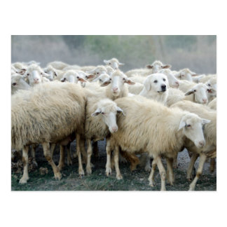 Dare to be different! Sheepdog Saying ... Postcard