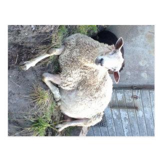 Dåris - the cool Estonian ewe in the illusion give Postcard