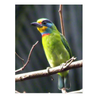 Dark Colored Tail Hangs Under Mostly Green Barbet Postcard