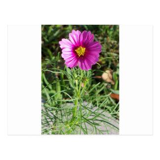 Dark pink Cosmos daisy flower Postcard