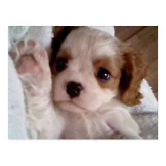 Darling Cavalier King Charles Spaniel,puppy Postcard