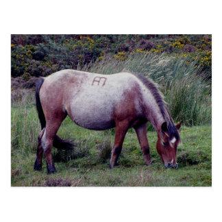 Dartmooe Pony Grazeing Autunm Postcard