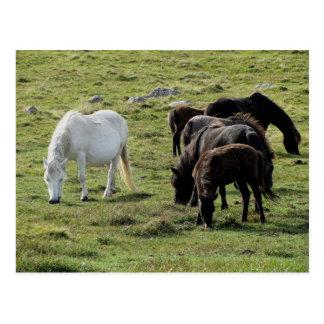 Dartmoor Ponies Grazeing Summer Postcard