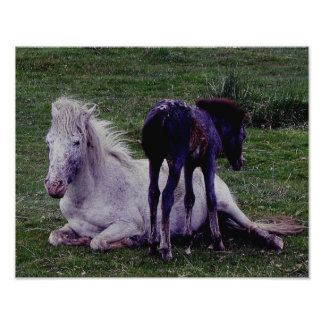 Dartmoor Pony Grey Mare Resting Foal Standing Photo Print