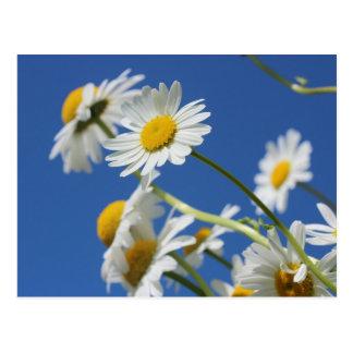 Dasy Flower Postcards