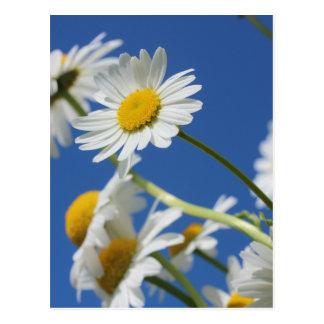 Dasy Flower Post Card