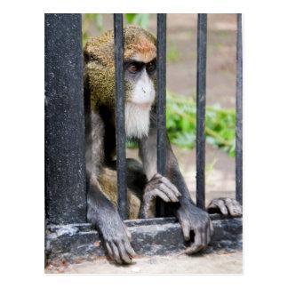 De Brazza's monkey postcard