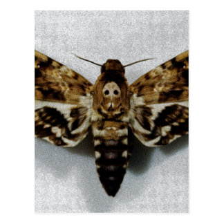 Death's Head Hawkmoth Acherontia Lachesis Postcard