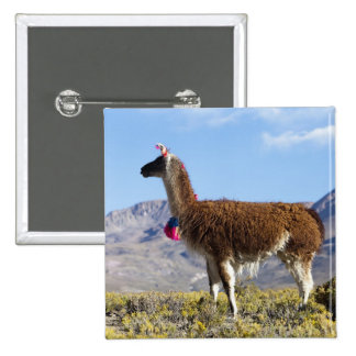 Decorated lama herd in the Puna, Andes mountains 2 15 Cm Square Badge