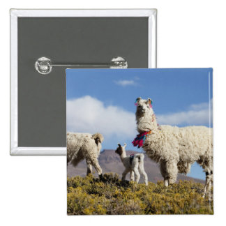 Decorated lama herd in the Puna, Andes mountains 3 15 Cm Square Badge