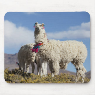 Decorated lama herd in the Puna, Andes mountains Mouse Pad