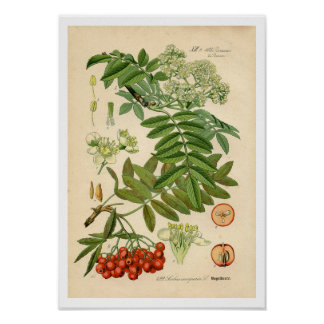 Decorator Botanical Print - Apple, Mountain Ash