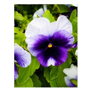 Deep_Blue_White_Pansies,_ Postcard