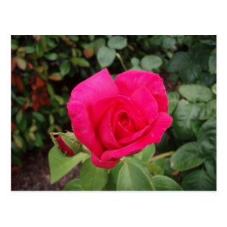 Deep pink rose 2 postcard