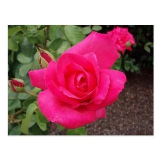 Deep pink rose postcard