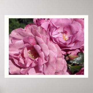 Deep Pink Roses Poster