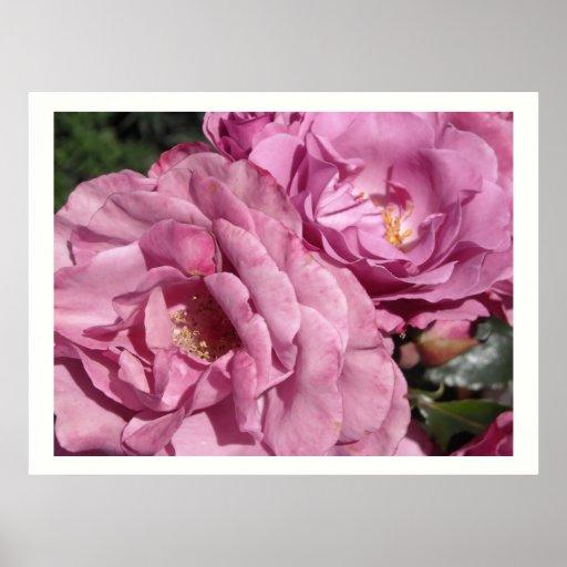 Deep Pink Roses Print