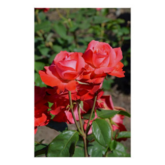 Deep pink roses poster