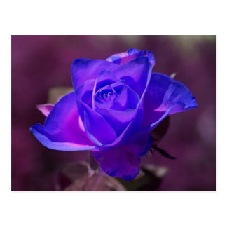 Deep Purple Rose Postcard