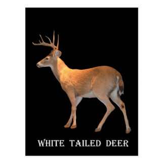 Deer (Buck) White-Tailed Postcard