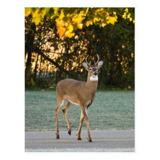 Deer Crossing Postcard
