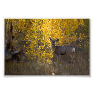 Deer - Grand Canyon National Park - Arizona Photo Print