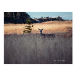 Deer in field of tall grass postcard